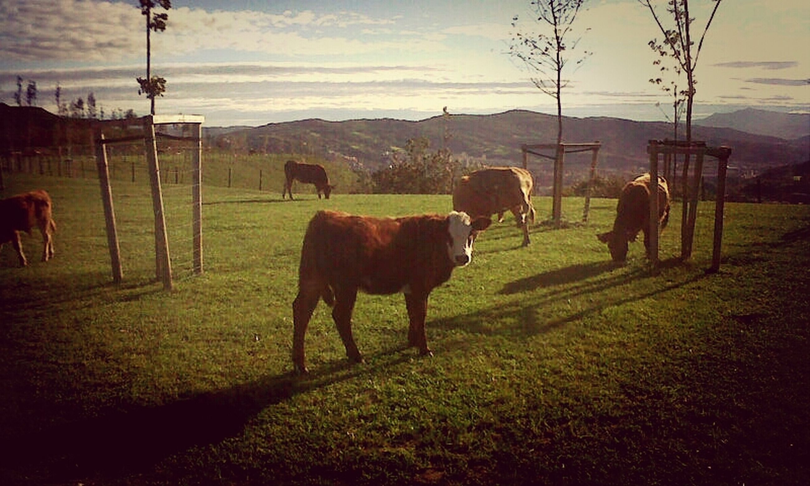 domestic animals, animal themes, livestock, horse, mammal, field, cow, grass, landscape, sky, grazing, domestic cattle, standing, working animal, herbivorous, fence, rural scene, cattle, full length, pasture