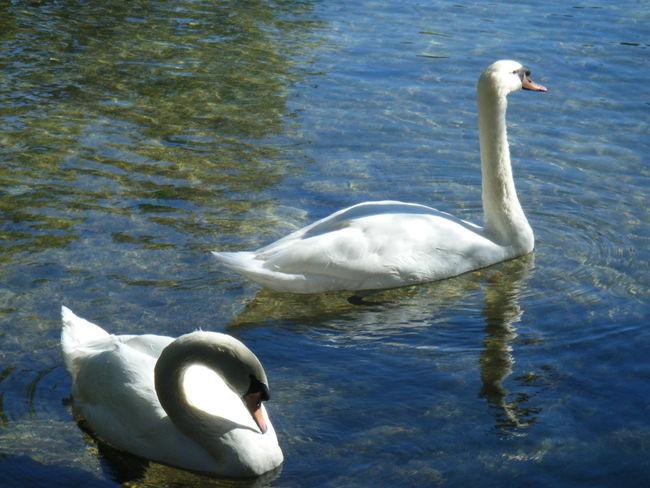 Swans Blue Water Swan Swimming Sun Blue River