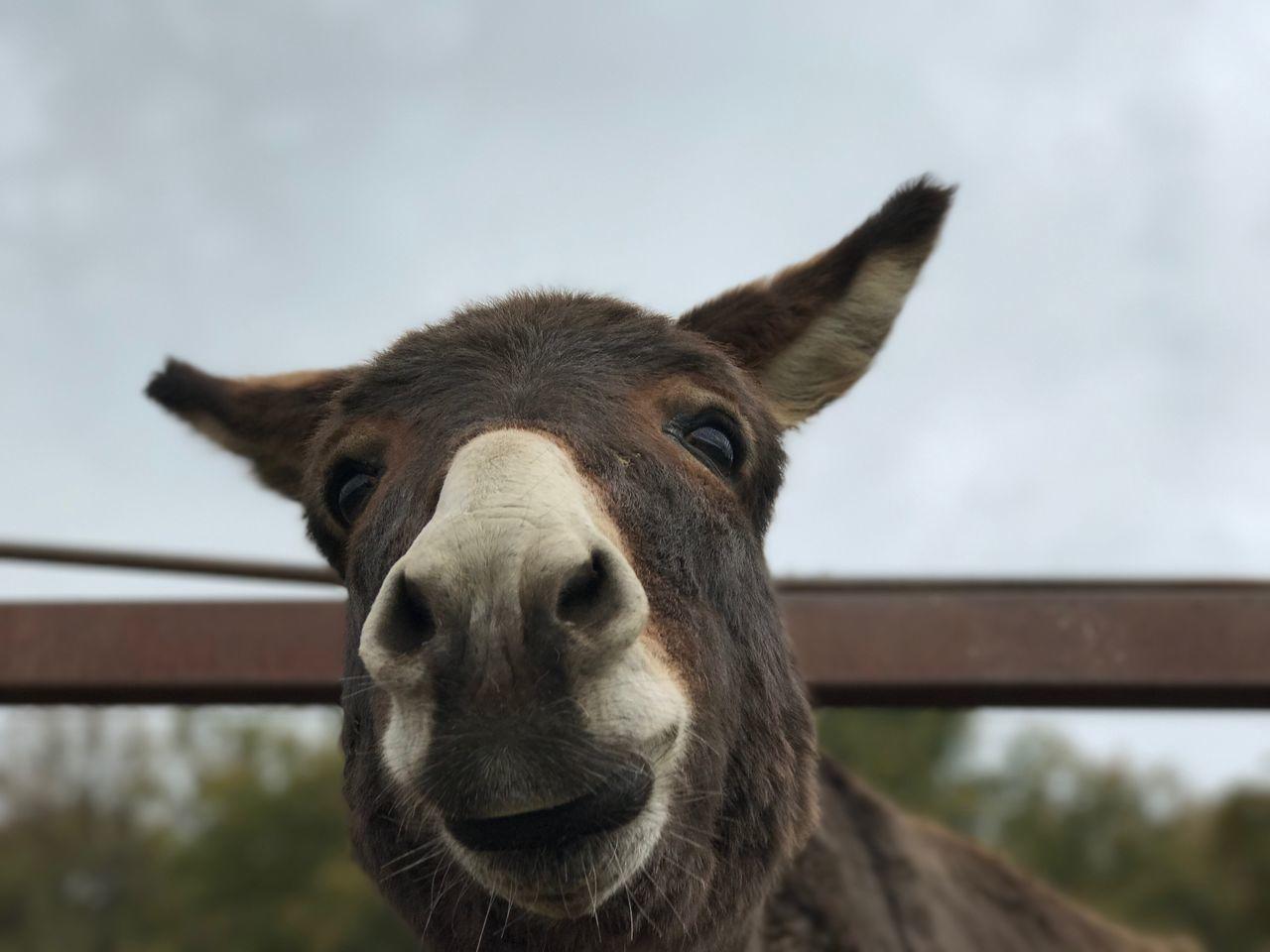 Stoparde Donkey Tivoli Asino Animal Themes One Animal Mammal Focus On Foreground Domestic Animals Livestock Looking At Camera