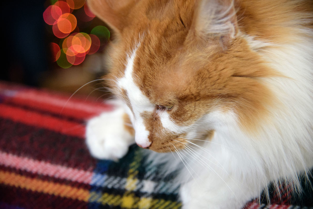 Closeup of orange and white tabby cat sitting on plaid blanket looking down with blurred Christmas tree lights in background Animal Themes Blurry Background Cat Christmas Lights Close-up Couch Domestic Animals Domestic Cat Fluffy Furry Cat Ginger Cat Horizontal Indoors  Laying Down Ling Ha Long Haired Cat Looking Down Male Cat No People One Animal Orange And White Cat Pets Plaid Blanket Soft Focus Tabby Cat