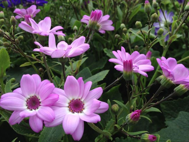 Cineraria flowers Abundance Beauty In Nature Blooming Botany Cineraria Flower Flower Head Fragility Freshness Growth In Bloom Leaf Nature Outdoors Petal Pink Color Plant Purple