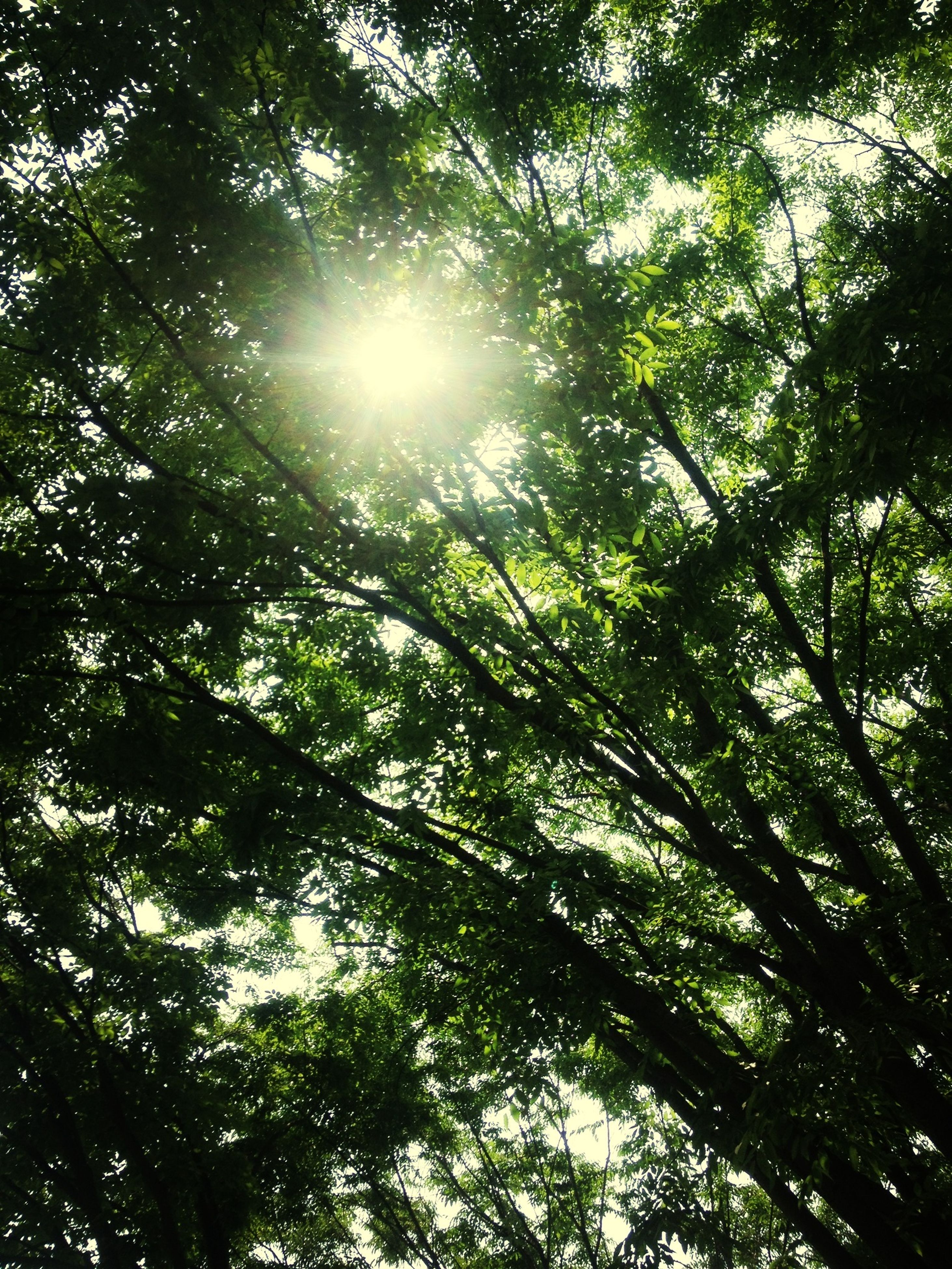tree, low angle view, sun, sunbeam, growth, sunlight, branch, lens flare, tranquility, nature, beauty in nature, sky, bright, sunny, day, back lit, forest, scenics, streaming, outdoors