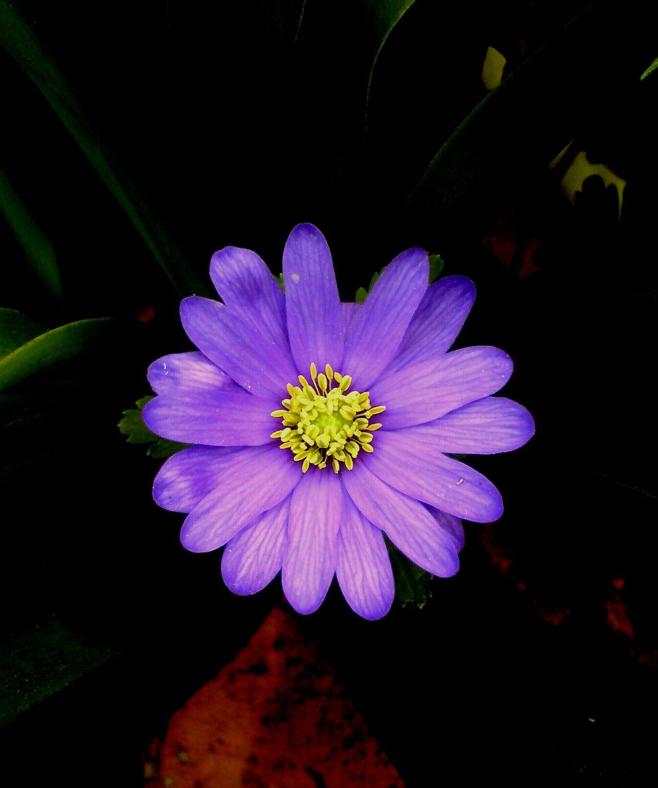 Close Up Nature Purple Flower Purple Flower Close Up Yellow Centered Flowers Yellow Centre Dark Background