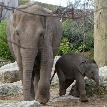 Last one from this magnificent Mother and son... Elephant Elephant Calf Young Elephant Conservation Zoo Chester Zoo Animal Zoo Nature Togetherness Animal Trunk Young Animal Animal Themes Outdoors Mammal Tree No People Cute Elephants Are Gentle So Sweet Baby Elephant True Devotion Close-up Shot