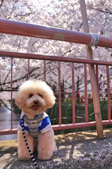Cutedogs Smile Japan I Love My Dog Ohanami Poodle Love Dog Pet Smile Dog My Toypoodle