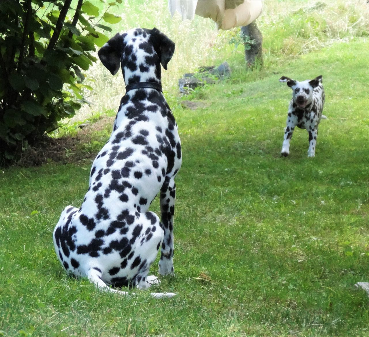Animal Themes Dalmatian Dalmatian Dog Dalmatian Puppy Dalmatians Dalmatiansofeyem Dalmatiansofinstagram Dog Dogs Domestic Animals No People Outdoors Pets Pup Puppy Running Dog Sitting Dog Spotted Spotted Dogs