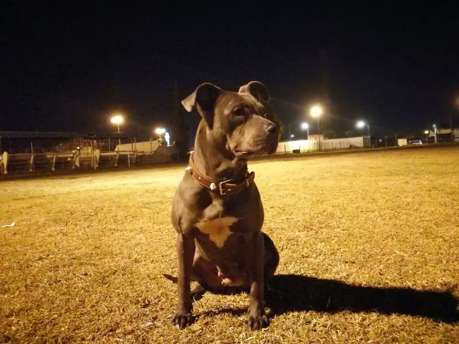 Dog Domestic Animals One Animal Animal Themes Day Pitbull Animal Pit Bull Terrier Pitbulllovers Pitbull Dog  Pitbull♥ Pitbull Lover Pitbull Blue Pitbull Love PitBullNation Night Pets Illuminated Mammal Outdoors No People Sky Mexico City