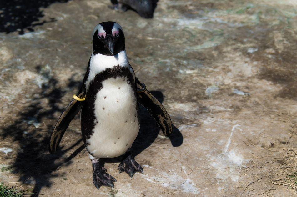Beautiful stock photos of penguin, Animal Themes, Animals In Captivity, Animals In The Wild, Bird