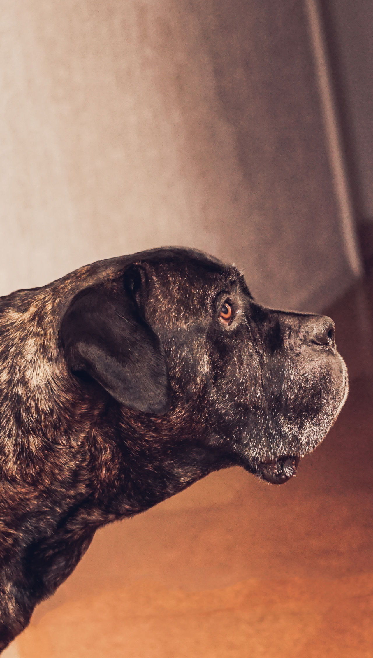 Animal Themes Brindel Dog Brown Eyes Cane Corso Close-up Day Dog Dog Focusing On Dog Listen Domestic Animals Family Member Focusing Indoors  Listening To Music Look In His Eyes Mammal Mastiff Member Of Our Family My Best Friend No People One Animal Pets Weimaraner