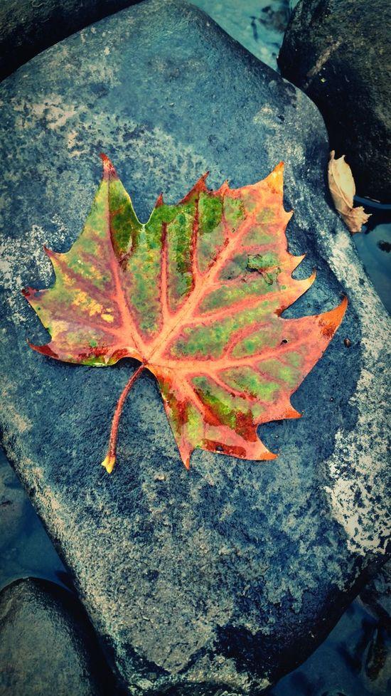 Fall Pennsylvania Oak Leaf I See Red