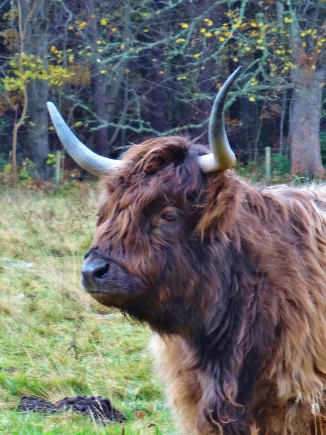Here's looking at you... Animal Hair Animal Head  Animal Themes Close-up Cow Field Focus On Foreground Grass HighlandCows Horns Mammal No People One Animal Outdoors