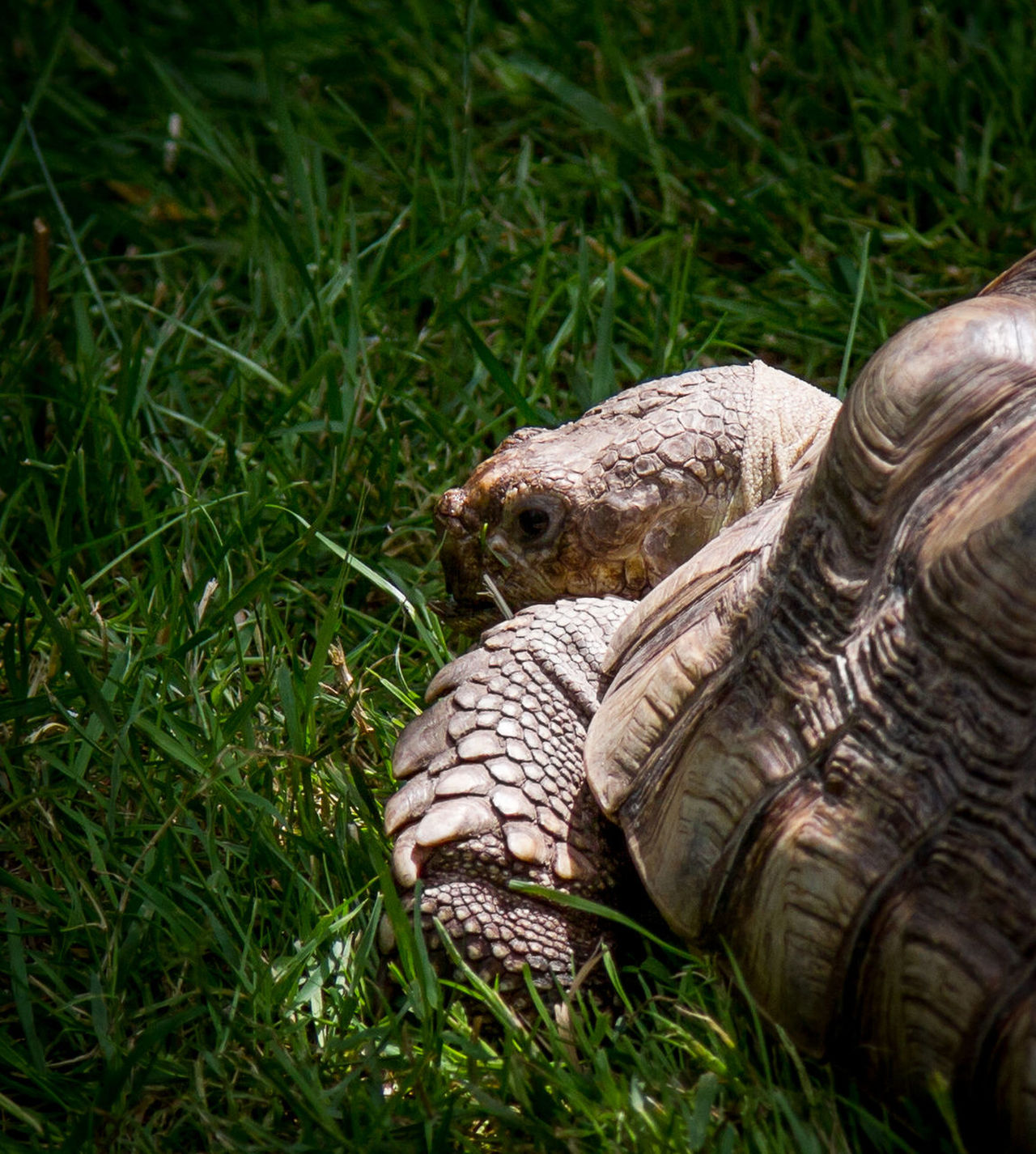 Animal Themes Animal Wildlife Animals In The Wild Close-up Day Field Grass Green Color Mammal Nature No People One Animal Outdoors Reptile Tortoise Tortoise Shell Wildlife