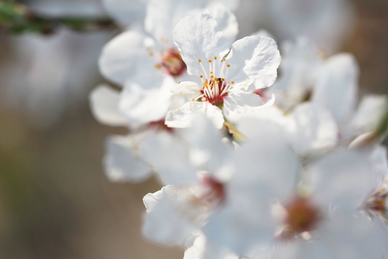 Close-Up Of Fresh White Flowers Blooming In Nature
