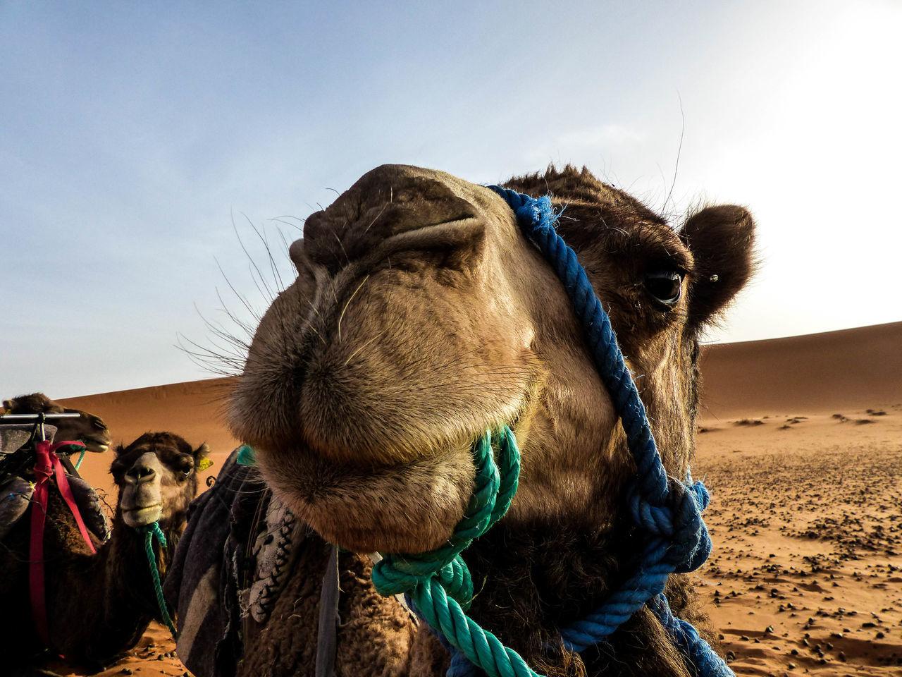 Sunny, Hot day in the beautiful and inmense Sahara Desert. Africa Animal Camel Camel Riding Close-up Desert Marruecos Morocco Nature Sahara Sahara Desert