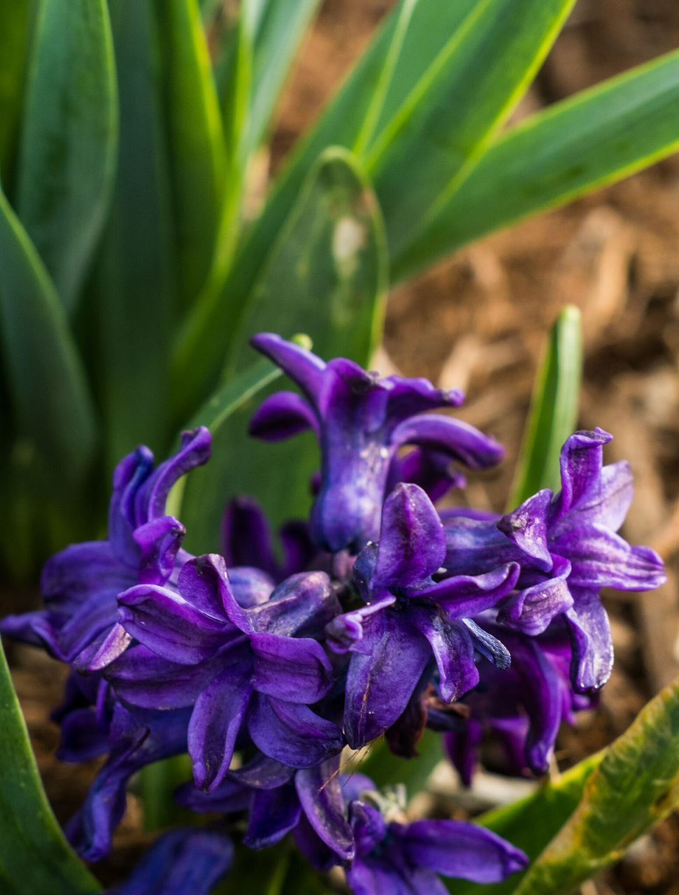 flower, growth, nature, beauty in nature, petal, plant, purple, fragility, freshness, flower head, outdoors, no people, close-up, day, green color, leaf, blooming, iris - plant