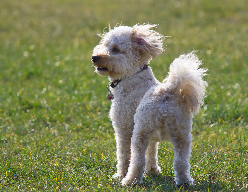 Animal Themes Animals In The Wild Cavapoo Close-up Day Dog Domestic Animals Field Focus On Foreground Full Length Grass Grassy Green Color Mammal Nature No People One Animal Outdoors Pets Running Dog White Color Wildlife