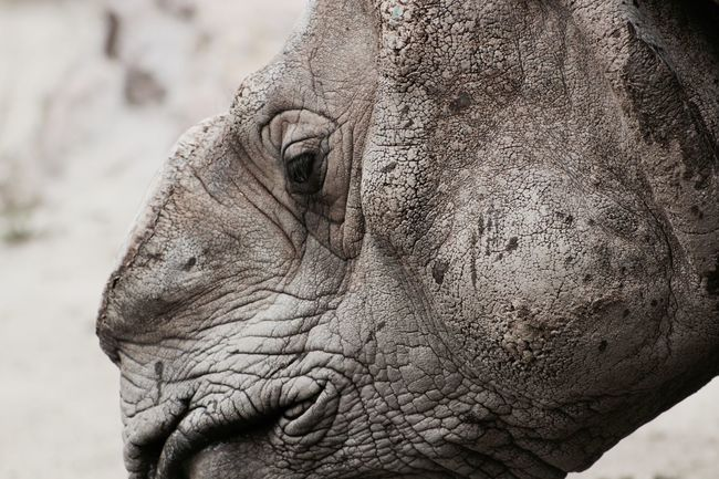 San Francisco Zoo Animal Animal Head  Animal Themes Beauty In Nature Close Up Close-up Focus On Foreground One Horned Rhino Rhino Rhinoceros Experience Experiences Toughness Tough Life The Magic Mission