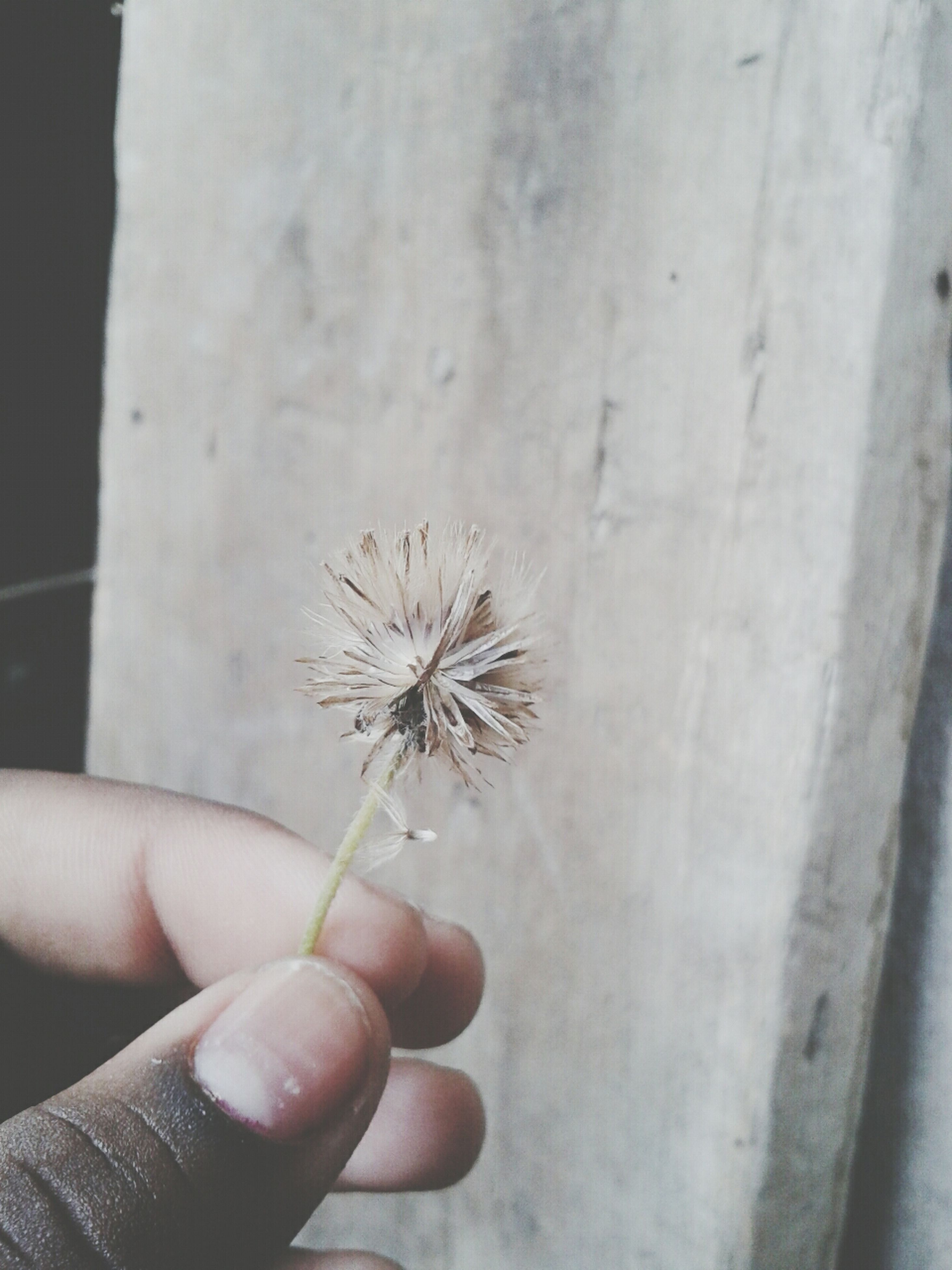 person, holding, part of, cropped, human finger, unrecognizable person, flower, close-up, personal perspective, fragility, freshness, indoors, plant, lifestyles, wall - building feature, focus on foreground, day