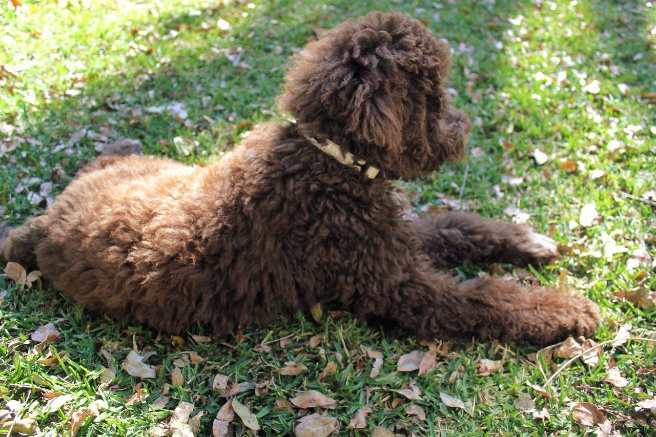 LaGottoRomagnolo Furry Friends Furry Brown Lagotto Romagnolo Animal Photography Animal Themes Animal Animals Grass Outdoors Puppy Dogs Dog Pet Portrait Pet Canine Showcase June Fine Art Photography Home Is Where The Art Is