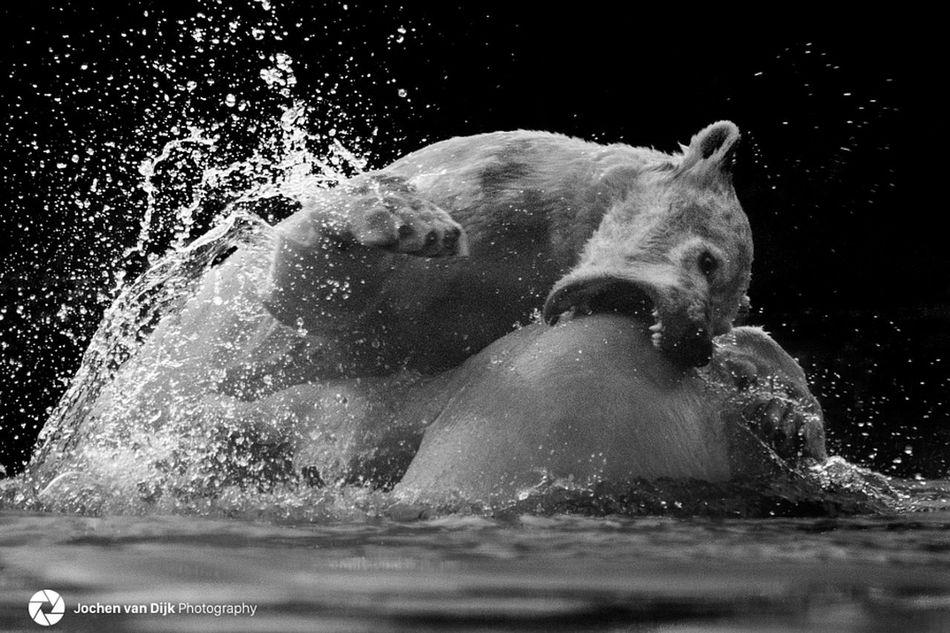 Black And Contrast Polar  Polar  Polar Bear