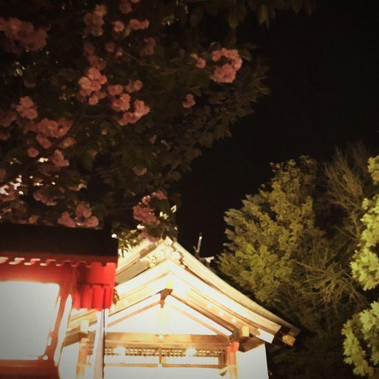八重桜、夜。