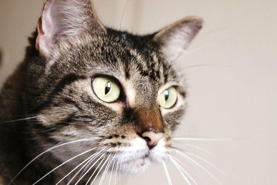 Beautiful stock photos of cat, Animal Themes, Cat, Close-Up, Domestic Animals