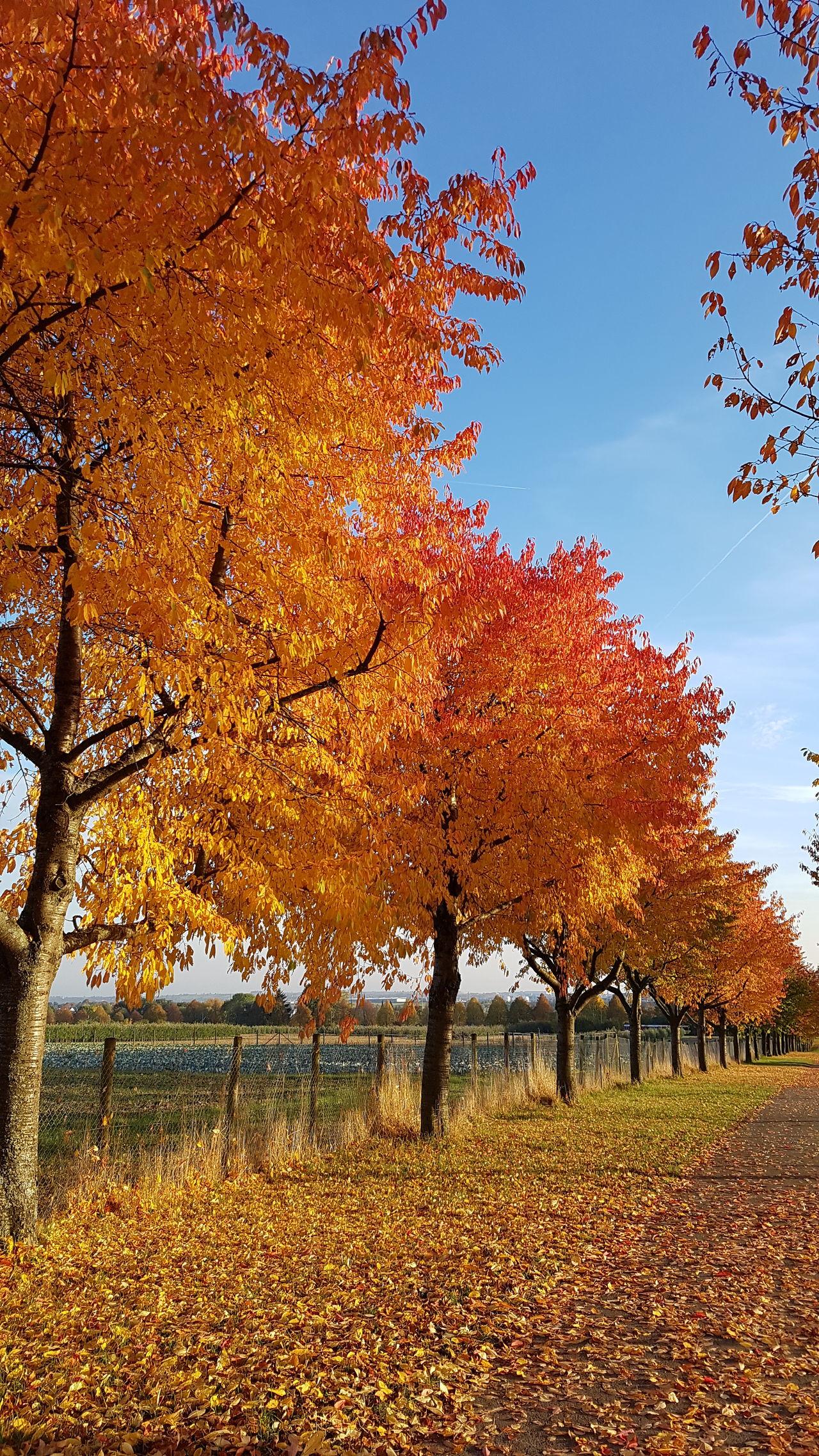 Autumn Autumn Colors Autumn Leaves Autumn🍁🍁🍁 Autumn Collection Autumn 2016 Autumnbeauty Orange Color Sunset Nature Landscape Outdoors Samsung Galaxy S7 Nofilternoedit