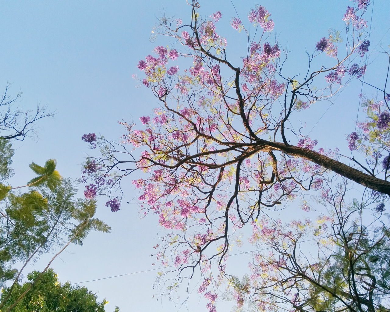 Beauty In Nature Clear Sky Leaves Low Angle View Nature No People Pink Pink Leaves Spring Sunny Tree