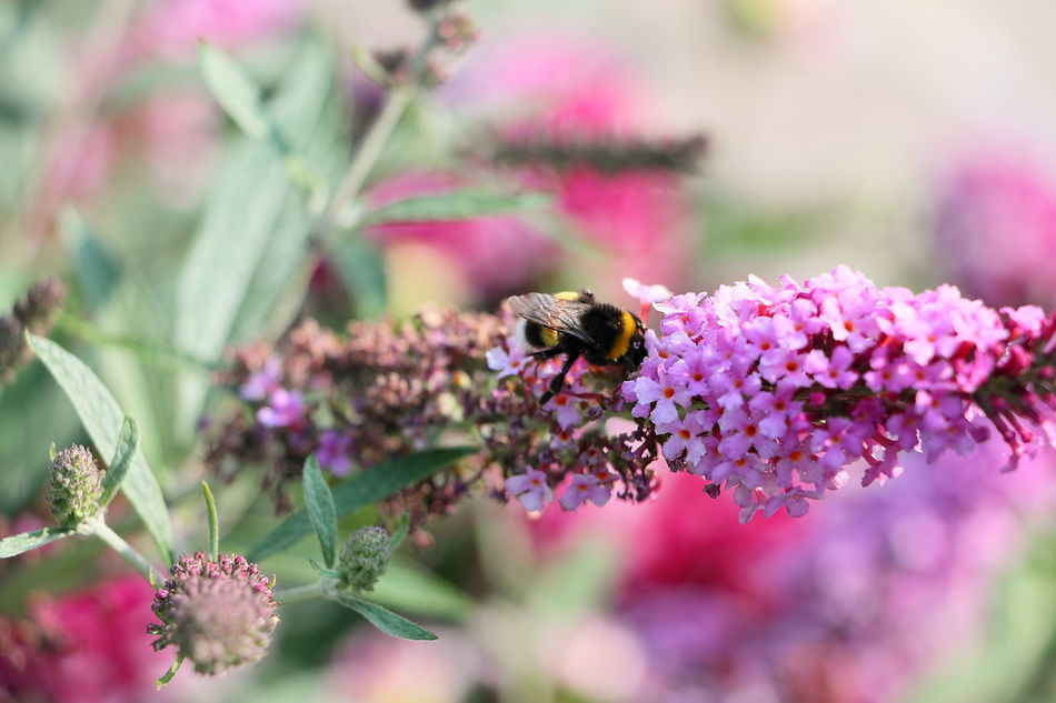 Animal Themes Animal Wildlife Animals In The Wild Beauty In Nature Bee Bumblebee Buzzing Close-up Day Flower Flower Head Fragility Freshness Growth Humble-bee Insect Lavender Nature No People One Animal Outdoors Plant Pollination Symbiotic Relationship