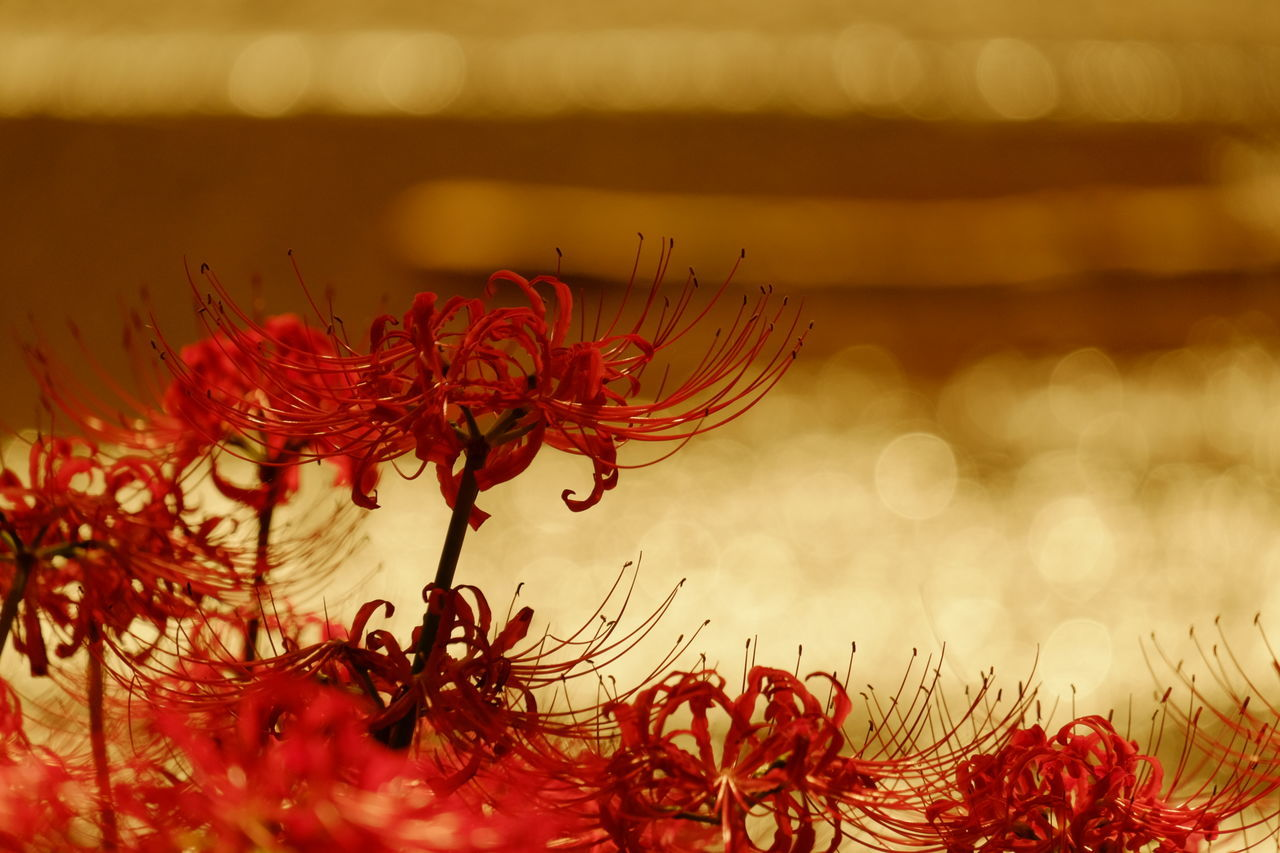 Cluster Amaryllis Redspiderlily Flowerporn EyeEm Flower Bokeh Water Reflections FUJIFILM X-T10 Xc50230 The Minimals (less Edit Juxt Photography) Astia My Best Photo 2015 43 Golden Moments