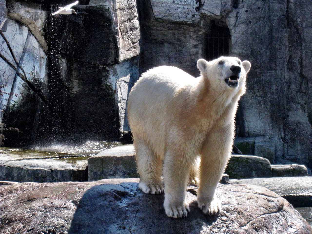 Beautiful stock photos of polar bear,  Animal Themes,  Animal Wildlife,  Animals In Captivity,  Bear