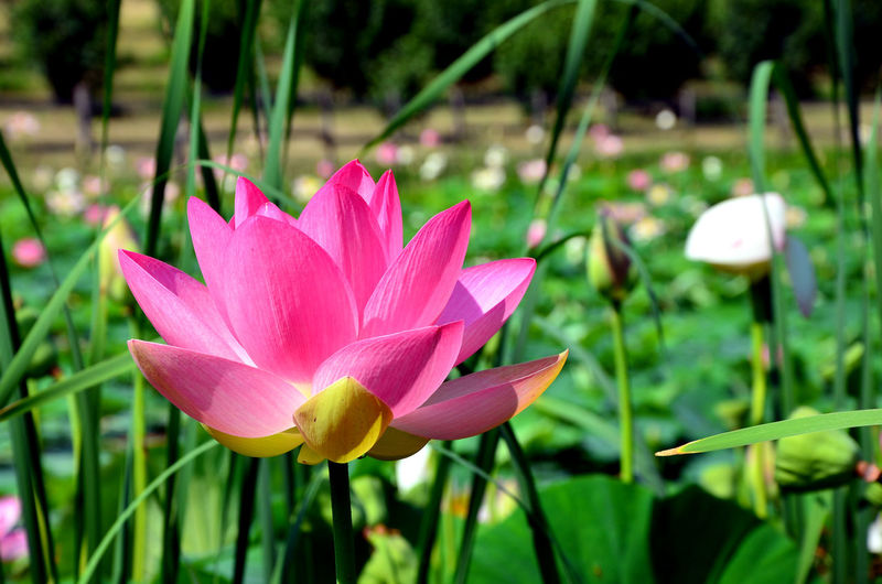 Lake View Lotoflower Loves_garden Igw_nature Beauty In Nature Loves_flowers_ Loves_flowers Loves_details Beautiful Nature Pocket_colors Igw_colors Pocket_allnature Loves_nature Capture The Moment