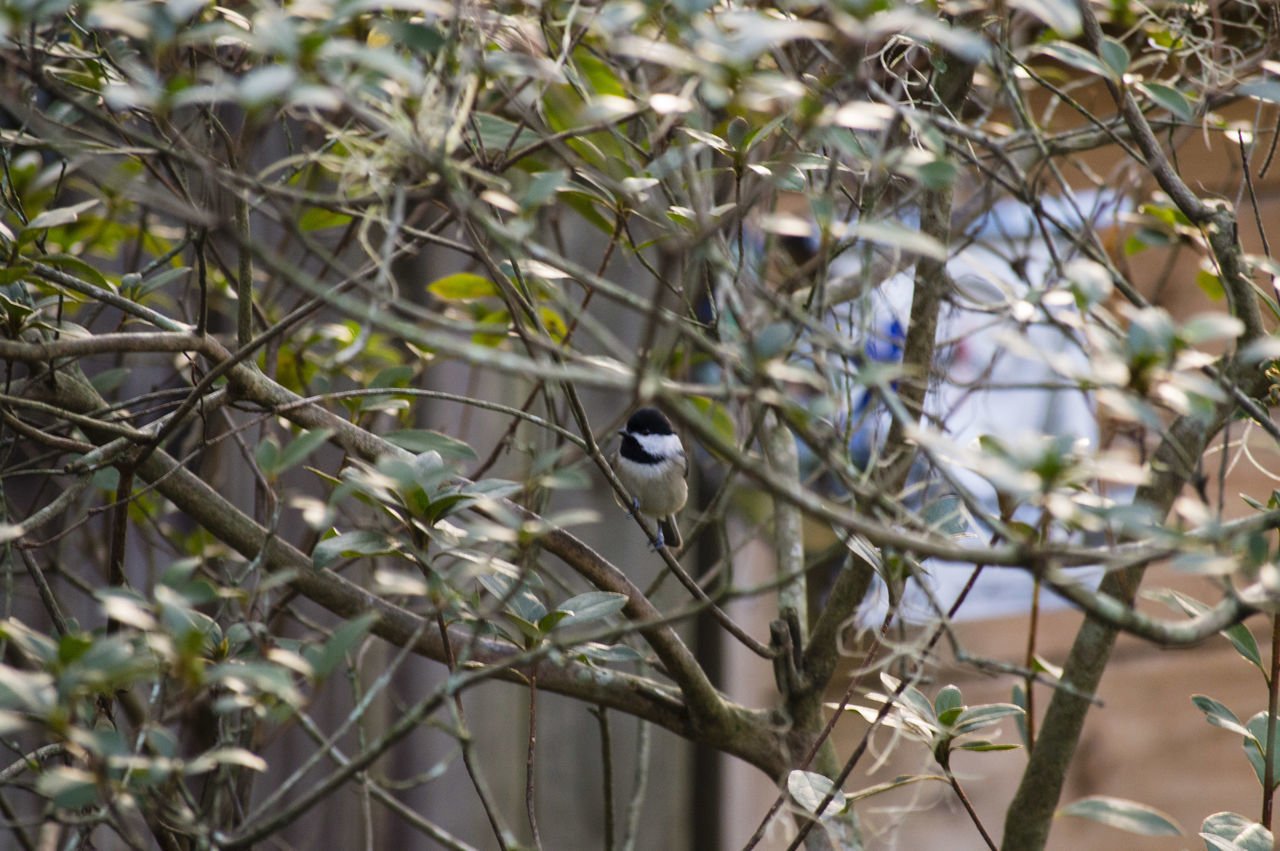 animals in the wild, one animal, animal themes, animal wildlife, bird, branch, perching, day, focus on foreground, nature, no people, tree, growth, outdoors, great tit, bluetit, beauty in nature, close-up