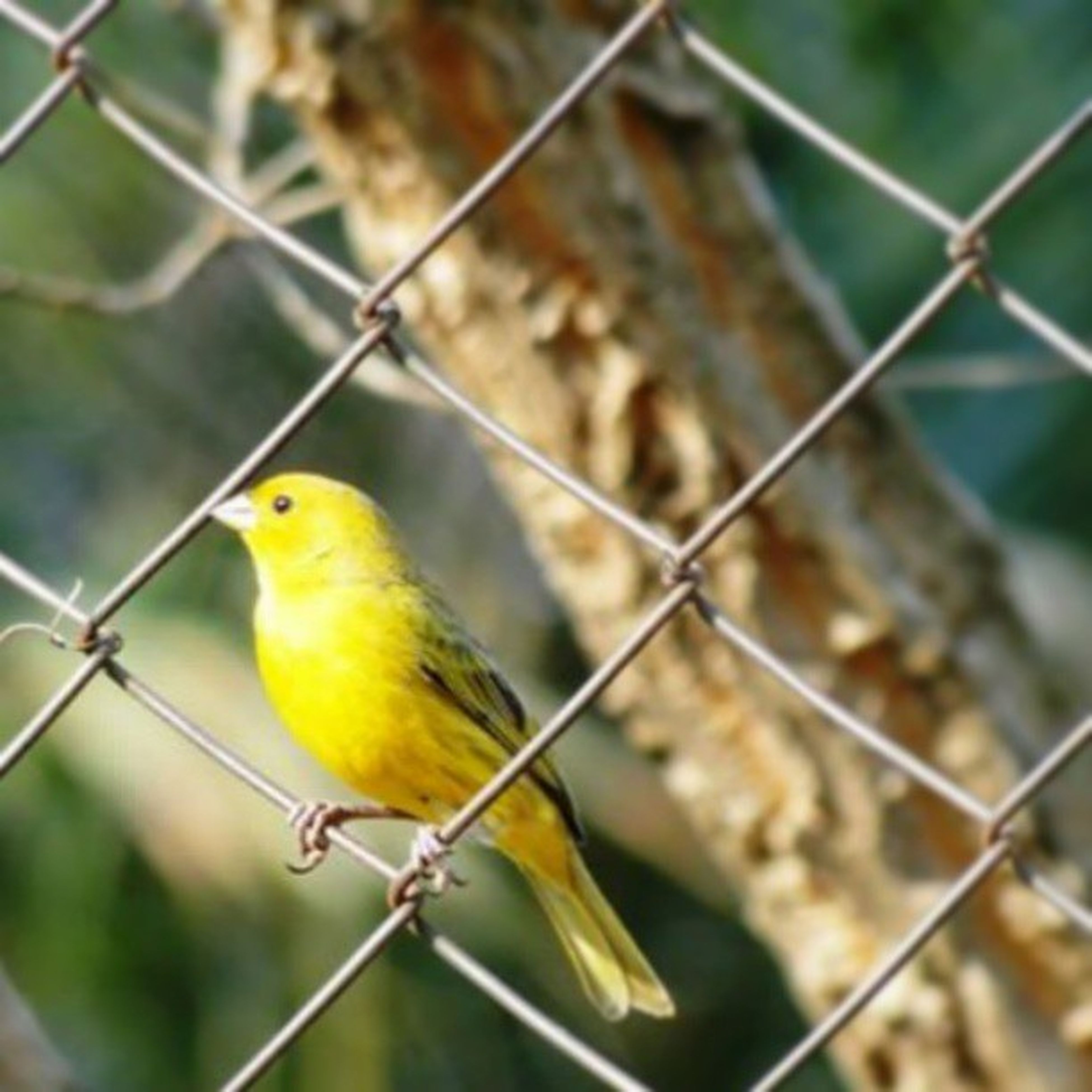 bird, animal themes, animals in the wild, perching, wildlife, one animal, focus on foreground, branch, parrot, beak, full length, close-up, fence, tree, day, yellow, nature, chainlink fence, outdoors, perched