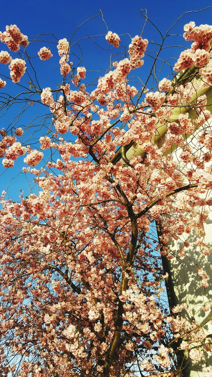 flower, low angle view, tree, branch, blossom, growth, beauty in nature, springtime, nature, fragility, day, no people, freshness, apple blossom, botany, outdoors, sky, pink color, sunlight, clear sky, flower head, close-up