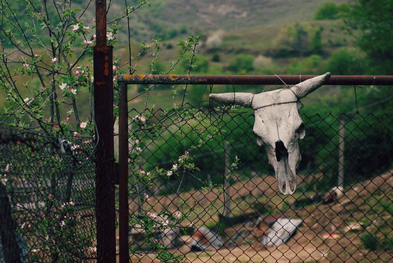 Bull skull head hanging on a rural door Animal Boho Bones Bull Cow Dead Death Decay Door Entrance Farm Fence Gate Grunge Hanging Metaphor Nature Old Rural Rustic Skull Symbol Symbolism Tied Weathered