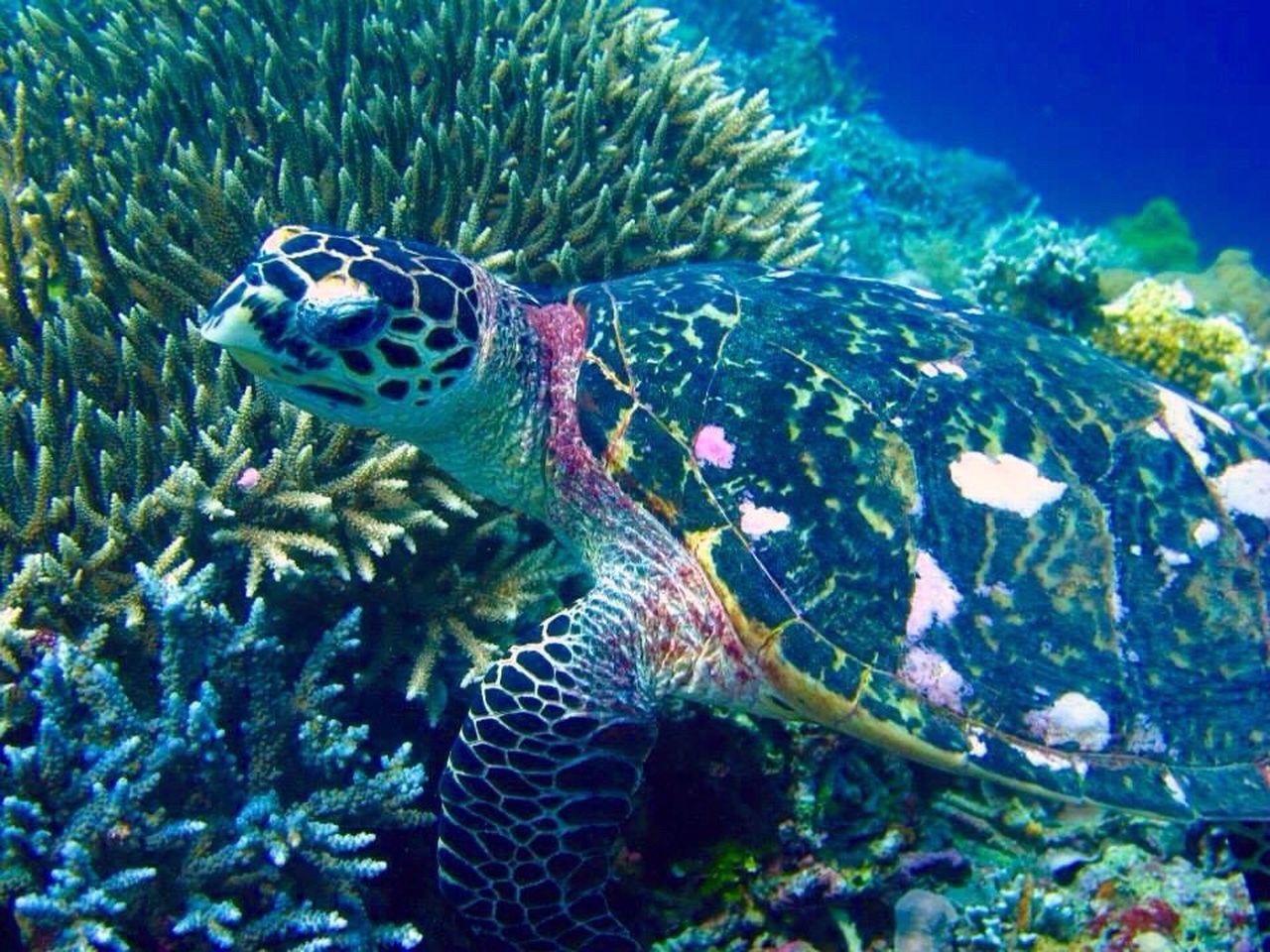 Hawksbill Turtle Hawksbill Turtle Aporeef