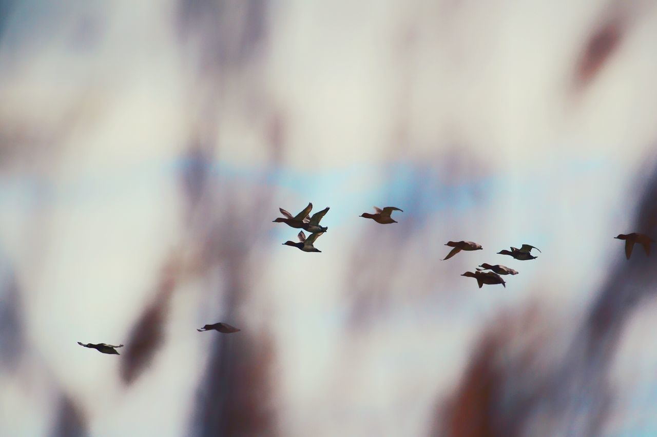 Flying Speed Sky Animals In The Wild Bird Animal Wildlife Animal Themes Perching Outdoors Spring Time Spring Springtime Backgrounds Ducks Duck Pattern Rural Scene