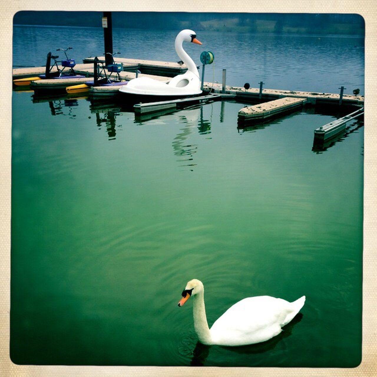 swan, animals in the wild, animal themes, one animal, water, bird, swimming, lake, wildlife, day, water bird, nature, no people, outdoors