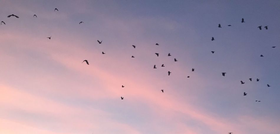 Freedom Large Group Of Animals Flock Of Birds Bird Animals In The Wild Flying Animal Themes Migrating Animal Wildlife Wildlife Silhouette Beauty In Nature Sky Low Angle View Nature Outdoors Mid-air Sunset No People Togetherness Day