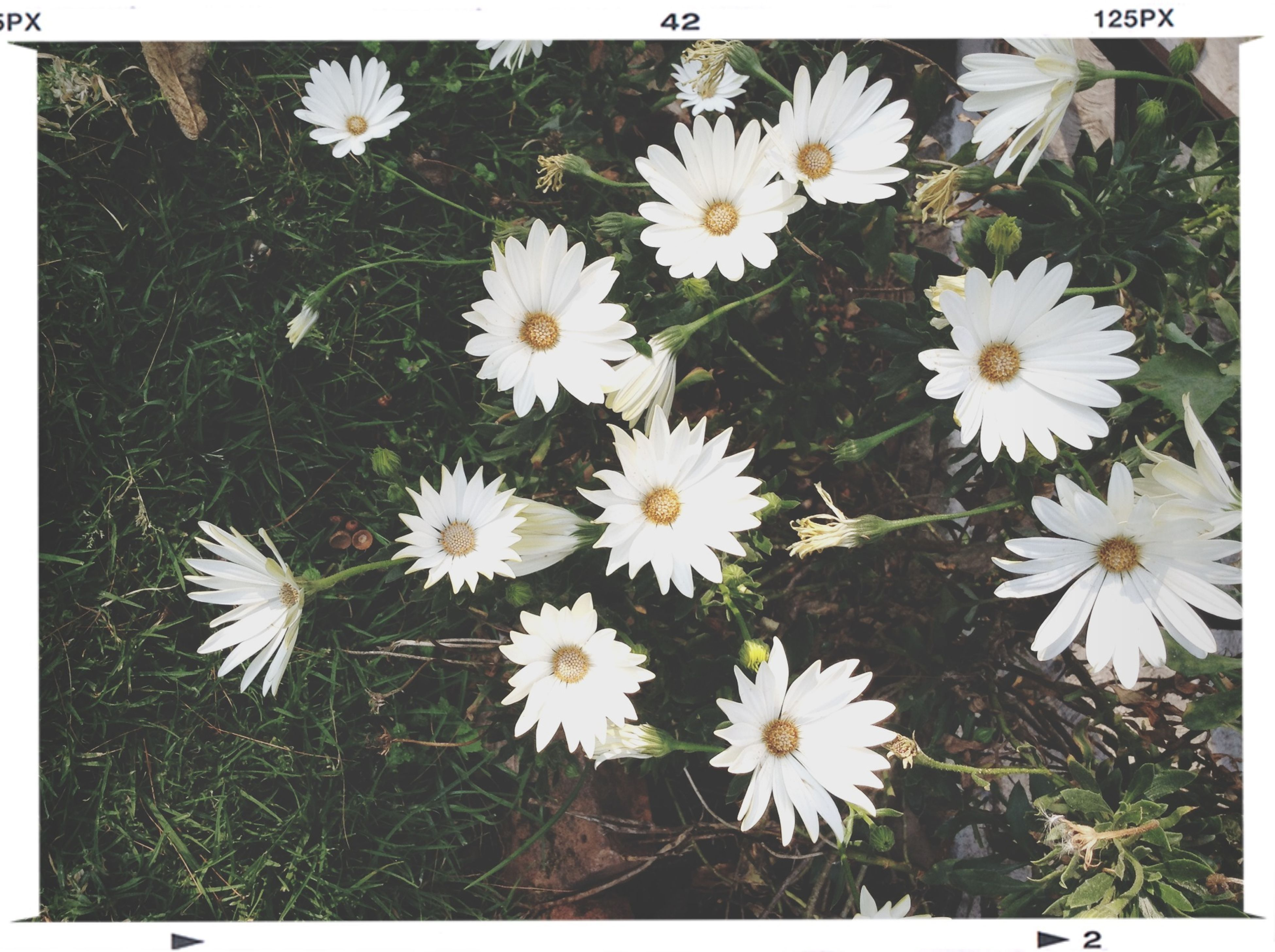 flower, white color, daisy, fragility, freshness, growth, petal, flower head, high angle view, beauty in nature, field, nature, transfer print, plant, blooming, white, grass, auto post production filter, pollen, close-up