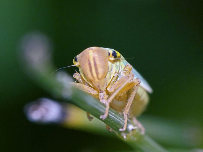 Cicadella Viridis - Serchio River Arthropoda Beauty In Nature Cicadellidae Close-up Hemiptera Hexapoda Insect Insect Close-up Insect Macro  Insect Macrophotography Insecta Nature Outdoors