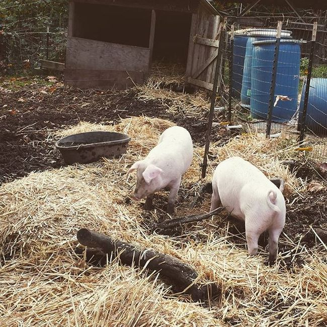 We decided to stack some functions and add straw to the pig pen. The pigs love the warm dry area it creates and they in turn will make us cob for future projects. Thanks pigs! Permaculture Pigs Porkchopandschnitzel Stackingfunctions Cob Meat