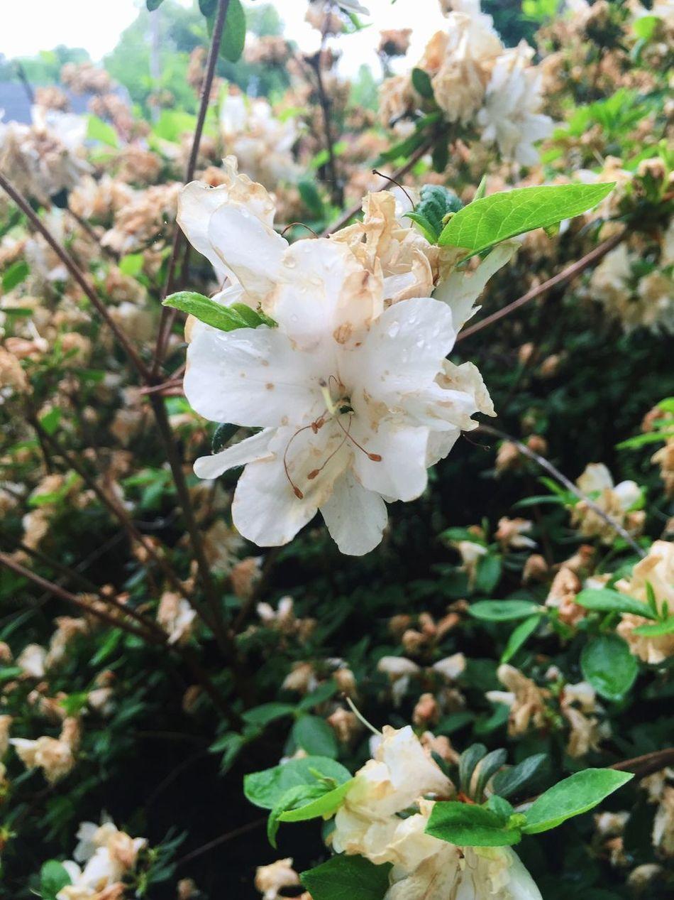 Raindrops Nature Flowers Bushes Backyard White Flowers Overgrown