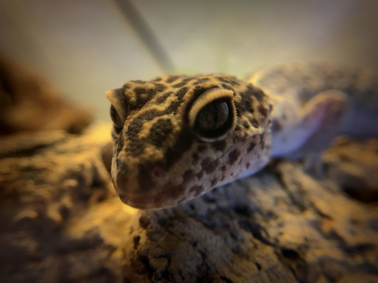 Macro shot of my leopard gecko. He didn´t get hurt ;) Animal Wildlife Lizard Saurian Close Up Close-up Closeup Gecko IPhone Leopard Macro Nature No People One Animal Reptile Animal Pet Nopeople Blurredbackground Vignette