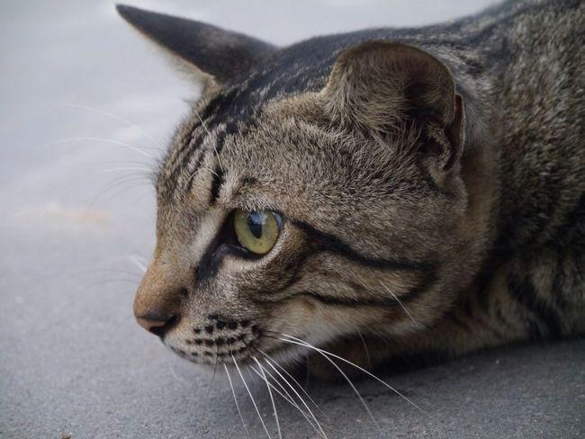 Cat Pets Hello World GangPolos