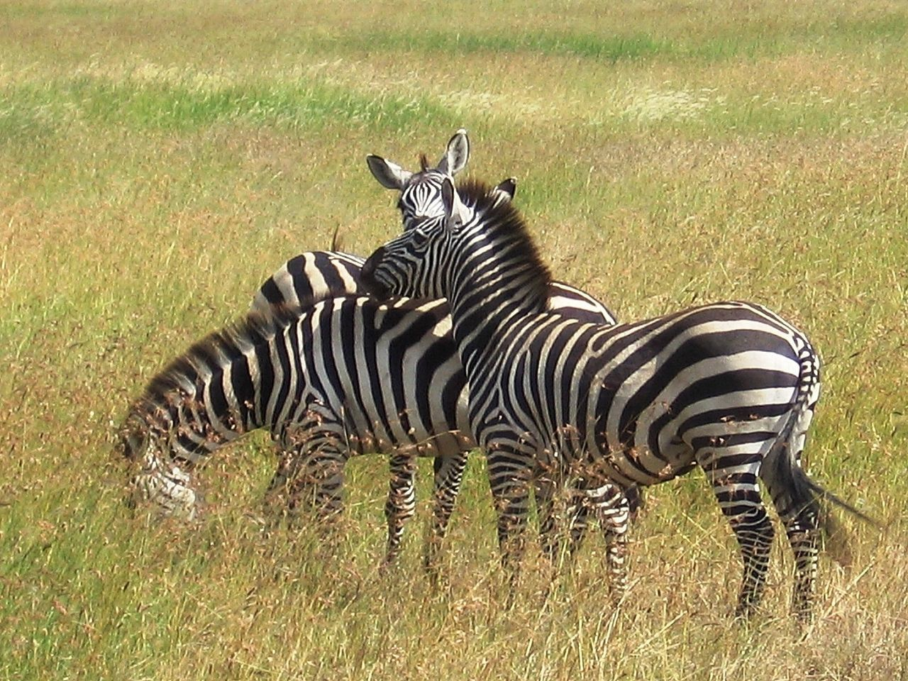 Africa African Safari Animal Themes Animal Wildlife Animals Animals In The Wild Animals In The Wild Grass Mammal Nature No People Safari Safari Animals Serengeti National Park Serengeti, Tanzania Striped Wildlife Wildlife & Nature Wildlife Photography Zebra