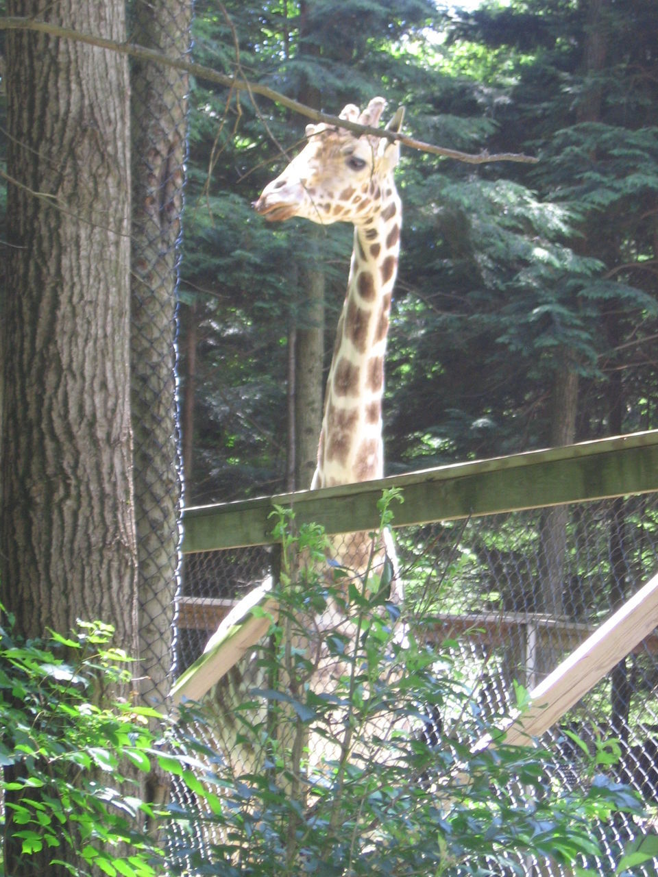 animal themes, tree, one animal, animals in the wild, mammal, animal wildlife, giraffe, zoo, day, no people, low angle view, tree trunk, outdoors, nature
