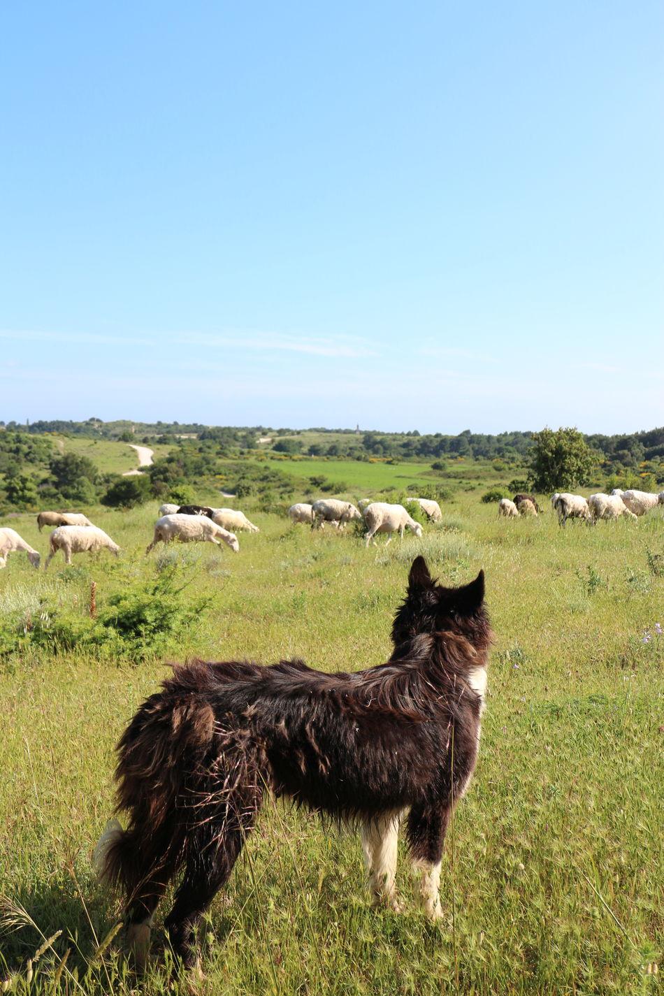 A smart Blah Croatia Croatia ♡ Guardian Istria Loyalty Medulin My Job Nature Premantura Sheep Sheepdog Shepherd Dog Sunny Day