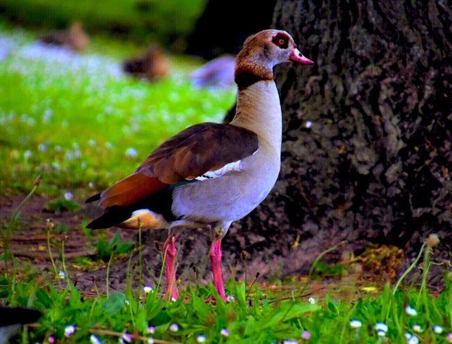 Egyptian Goose Animal Themes Bird Animals In The Wild EyeEm Masterclass Eyem Best Shots Eyeemphotography Beauty In Nature Eye4photography  Animal Wildlife EyeEm Best Shots